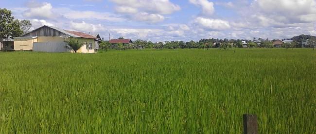 Sawah di Singkawang, Kalimantan Barat