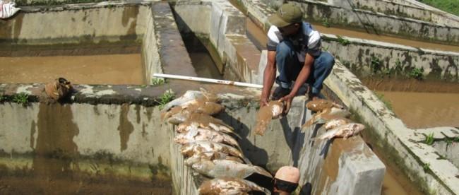 ikan ternakan mati