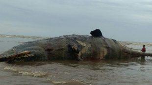 Kondisi ikan paus jenis paus sperma yang memiliki panjang 15,50 meter, dengan bobot diperkirakan 10 ton lebih, terdampar di pesisir Pantai Aceh Timur (Dok. ZK/KM)