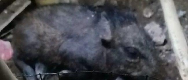 Babi hutan yang ditangkap warga Bedahan, Depok, dan diklaim sebagai babi ngepet (dok. KM)