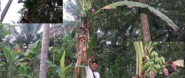 Pohon pisang yyang tumbuh bertandan dua dan berjantung tiga dalam satu batang di Desa Tanjung Agung Kec.Seginim Bengkulu Selatan